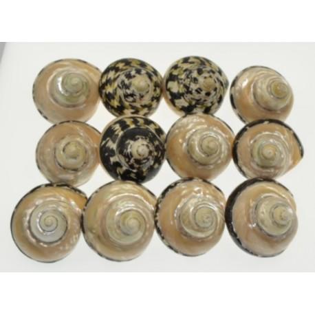 Natural Black Tiger Sea Shell